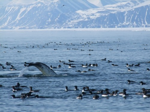 Uploaded image narwhal at the floe edge